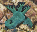 Nembrotha milleri grazing on ascidians in the South China Sea. 